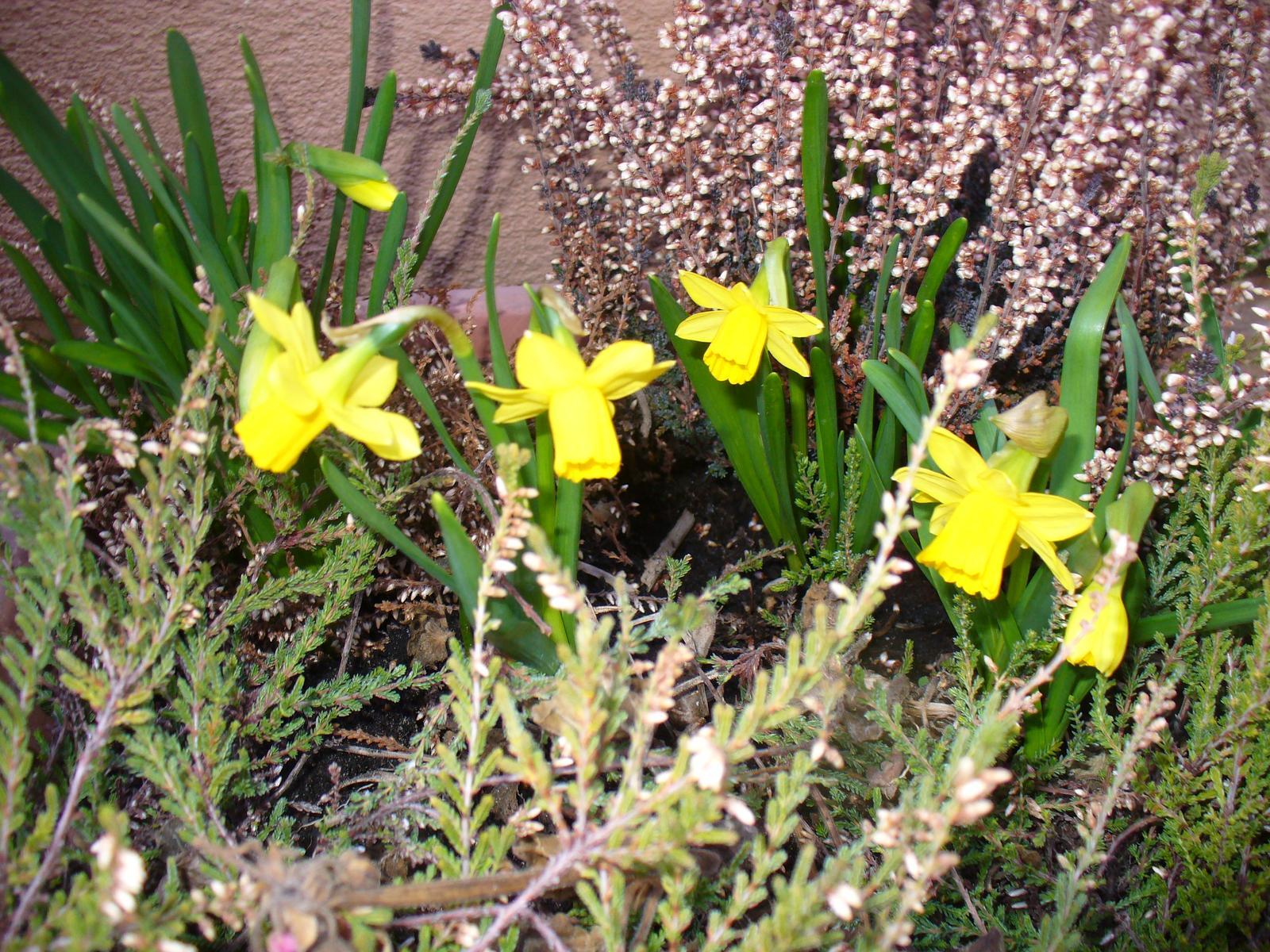 Prerábka, sadenie a úpravy v našej mini záhradke. - narcisky kvitnú