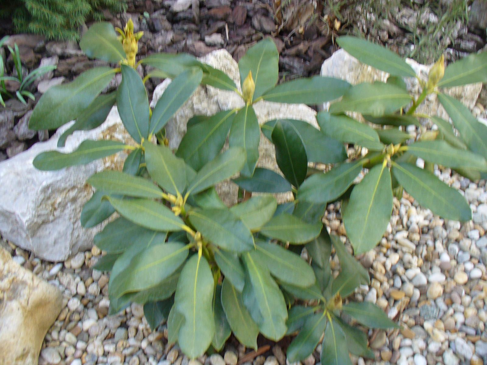 Prerábka, sadenie a úpravy v našej mini záhradke. - Rododendrón