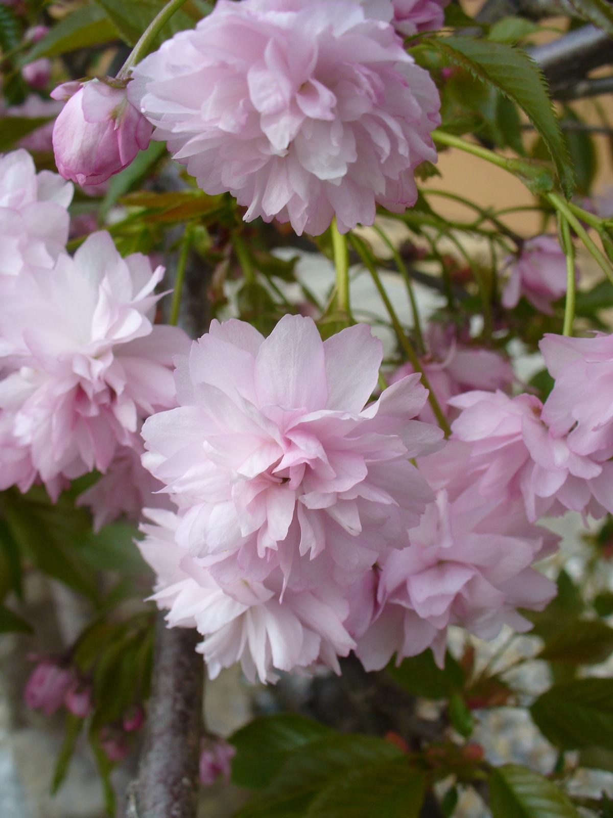 Prerábka, sadenie a úpravy v našej mini záhradke. - Okrasná čerešňa