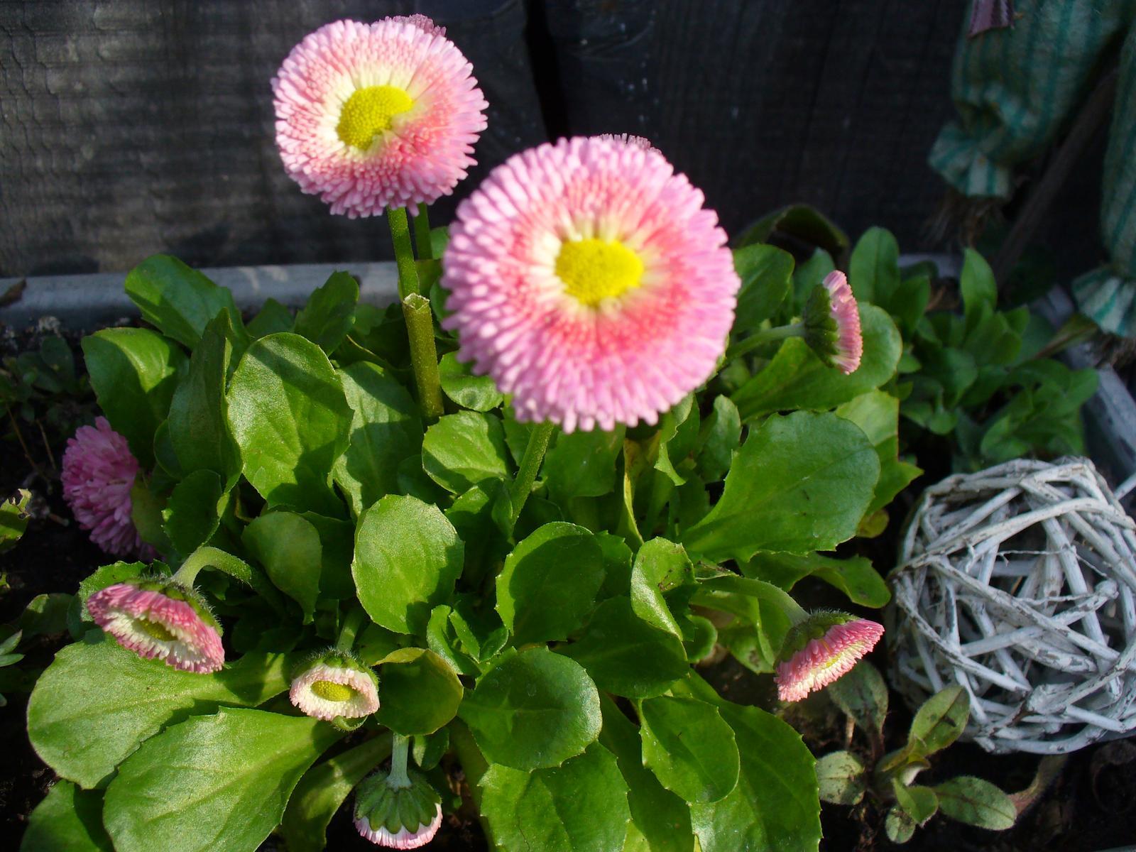 Prerábka, sadenie a úpravy v našej mini záhradke. - Obrázok č. 63