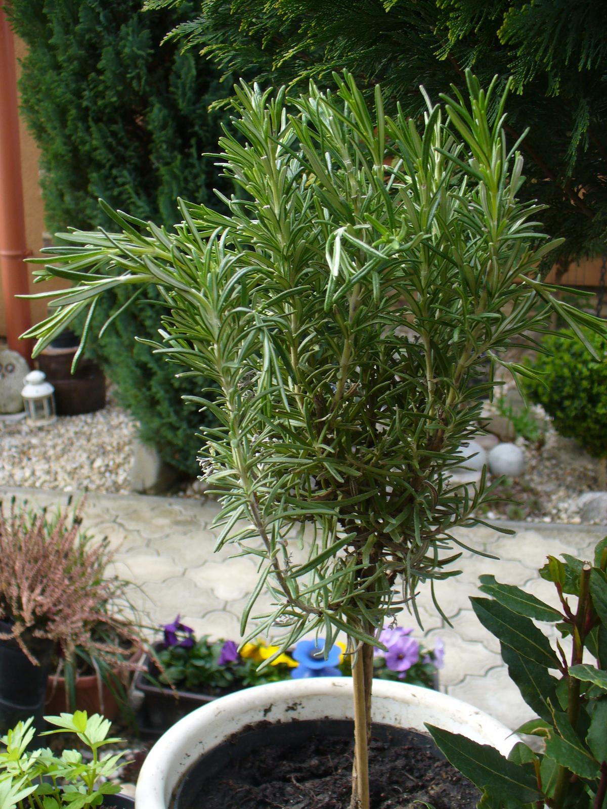 Prerábka, sadenie a úpravy v našej mini záhradke. - Dnes som natrafila v Kauflande Rozmarín na pieniku za 1,50 E :)