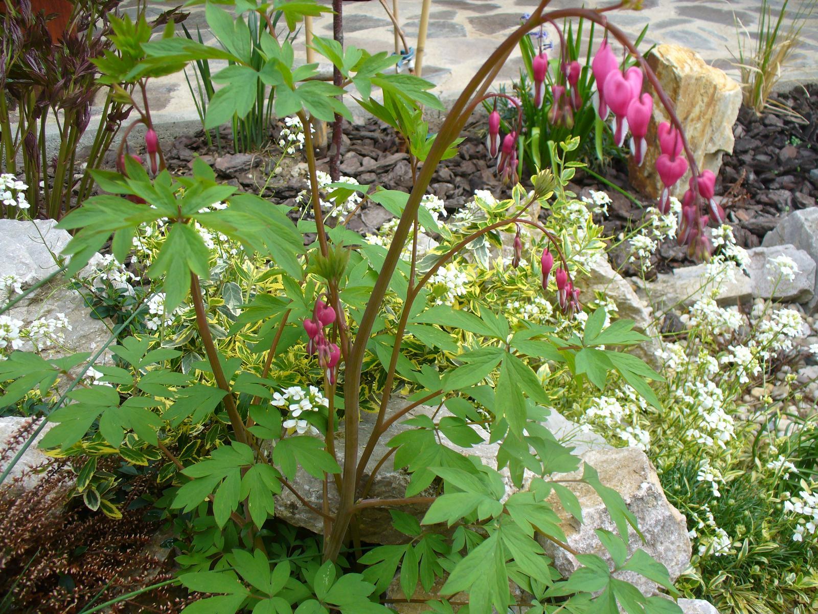 Prerábka, sadenie a úpravy v našej mini záhradke. - srdcovka je nádhernááá