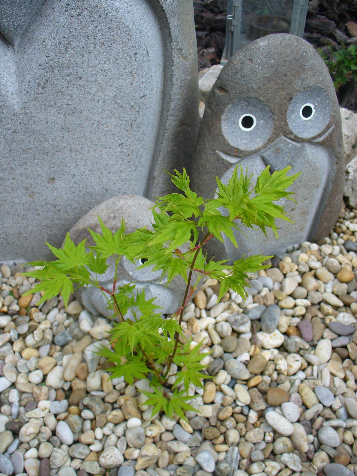 Prerábka, sadenie a úpravy v našej mini záhradke. - javor rastie, jupííí