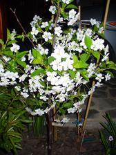 Višňa má plno kvetov