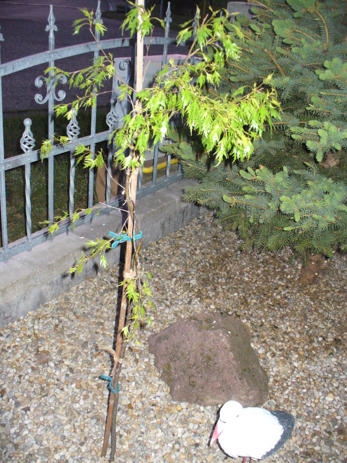 Prerábka, sadenie a úpravy v našej mini záhradke. - Priviazané, nech sa krásne vyrovná