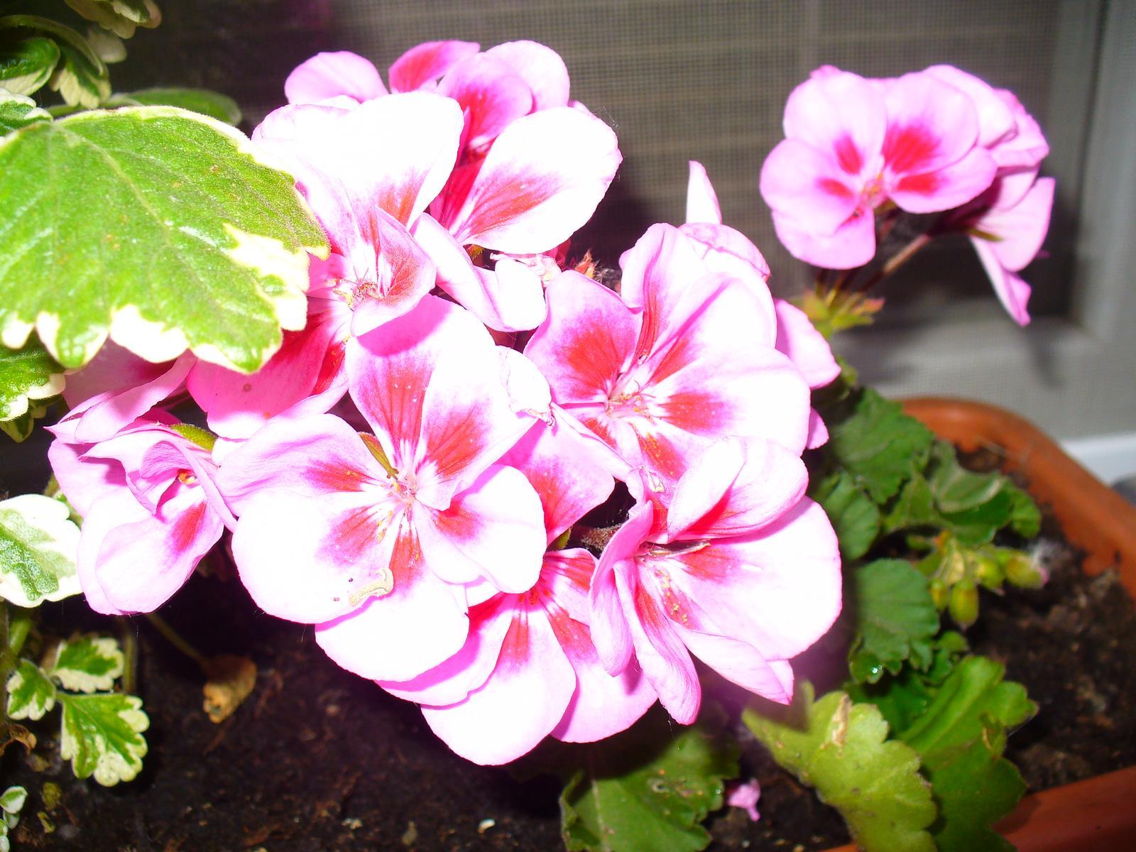 Prerábka, sadenie a úpravy v našej mini záhradke. - Obrázok č. 96