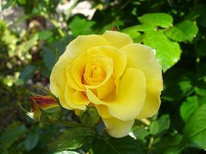 Moja prvá ružička rozkvitla