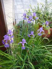 Iris je bohato zakvitnutý