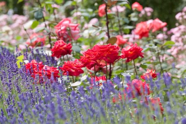 Inšpirujúce trvalkové záhony a iné výsadby - ruže a levanduľa