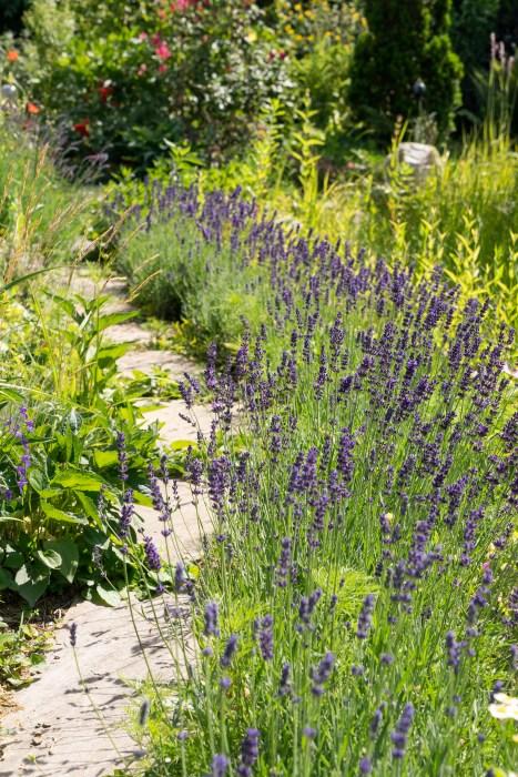 Inšpirujúce trvalkové záhony a iné výsadby - Lavandula Hidcote Blue