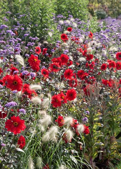 Inšpirujúce trvalkové záhony a iné výsadby - Dahlia, pennisetum a verbena bonariensis