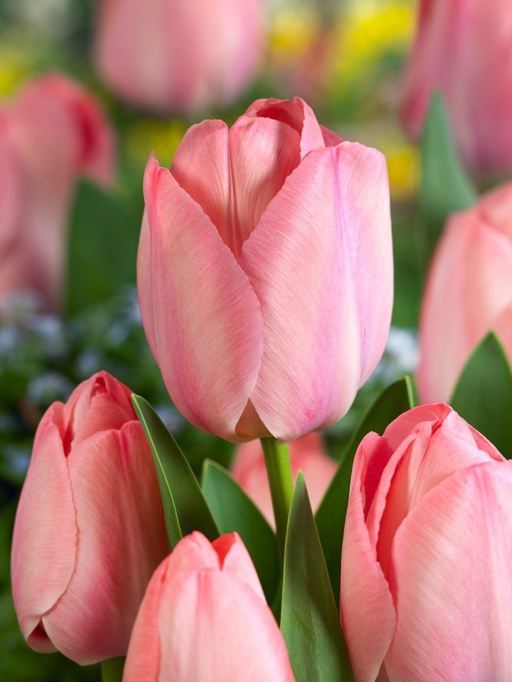 Jesenné novinky cibuľoviny 2020 - Tulipa Mystic Van Ejik