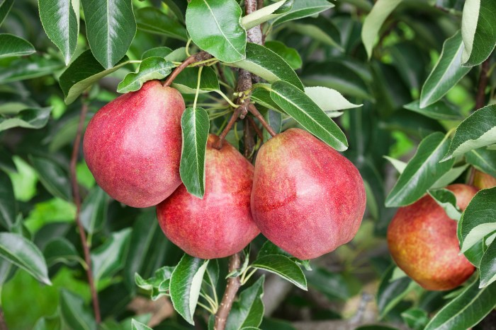 Ovocné stromy a drobné ovocie - Williamsová červená hruška