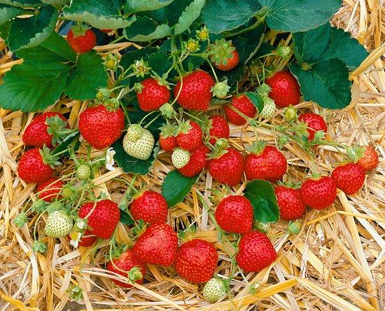 Ovocné stromy a drobné ovocie - Jahody - rôzne odrody