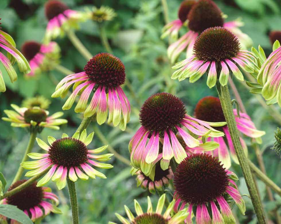 Novinky pre jar 2021 - Echinacea Green Envy