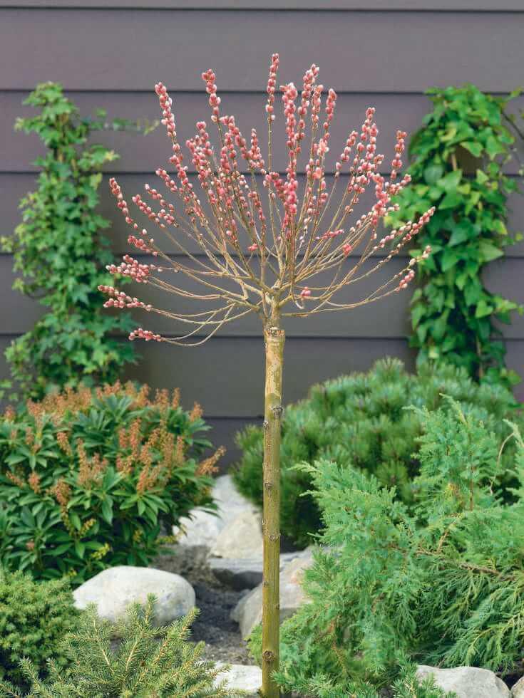 Novinky pre jar 2021 - Salix Mount Aso