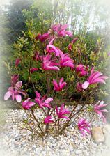Konečně kvete magnolie i mně-druh SUSAN