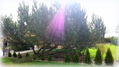 14 dní staré foto borovice před domem,stála tam 30let,bohužel se v půli rozlomila a tak jsme ji museli pořezat