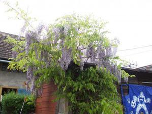 A takto nám letos na kůlně kvetla vistárie.