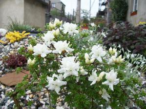 minirododendron