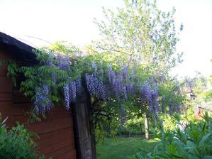 Naše vistárie, nádherně kvete každým rokem x-)