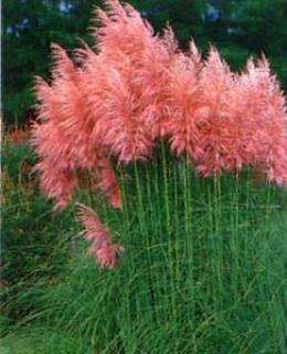 Moje inšpirácie (malé) na dvor - pampová tráva ružová