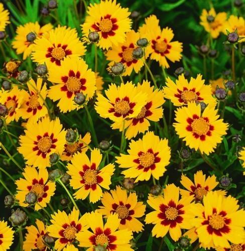 Moje inšpirácie (malé) na dvor - krásnoočko veľkokveté