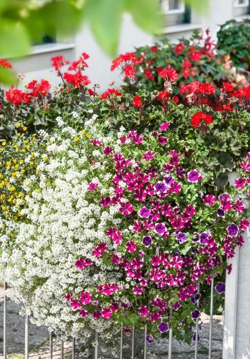 Novinky v našem e-shopu - Lobularie, petunie, sanvitalie,pelargonie pro slunný balkon.