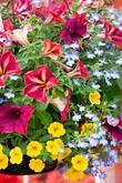 Lobelie, millonbells (calibrachoa) a zajímavý hybrid petunie - najdete v našem e- shopu