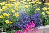 Calibrachoa, Lobelia a Argyranthemum jsou dokonalá trojka