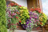 Pokud máte balkon s východním sluncem, je to příležitost pro: Ipomoea, Petunia, Surfinia, Begonia, Verbena i Scaevola.