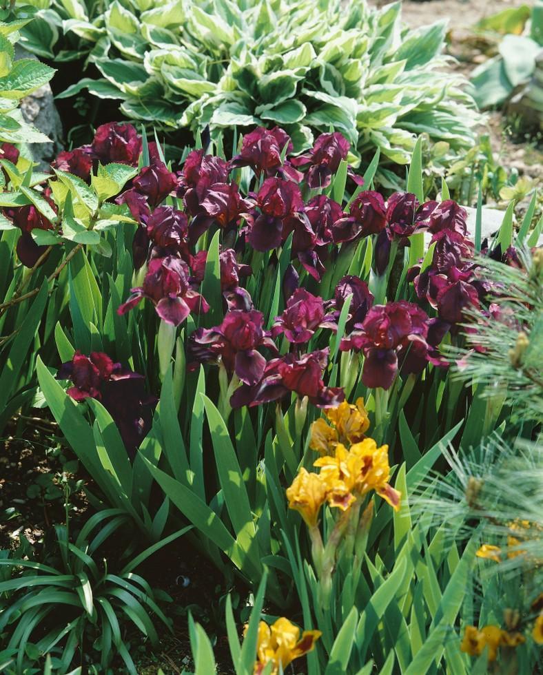 Novinky - trvalky v nabídce podzim 2019 - Iris pumila Cherry garden