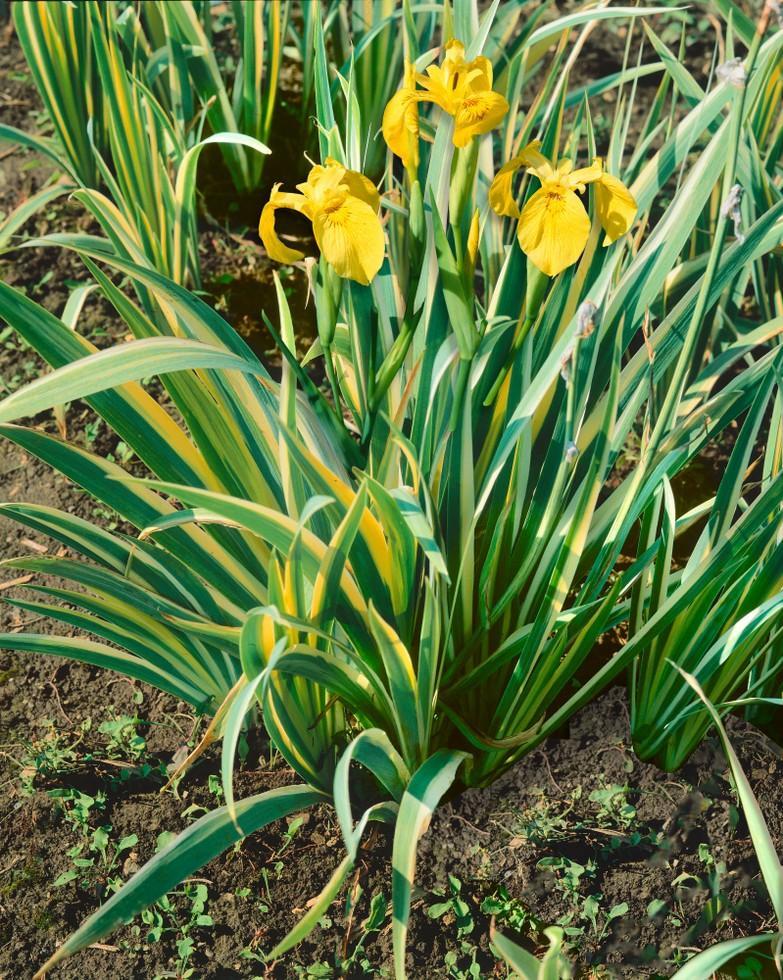 Novinky - trvalky v nabídce podzim 2019 - Iris pseudocorus Variegata