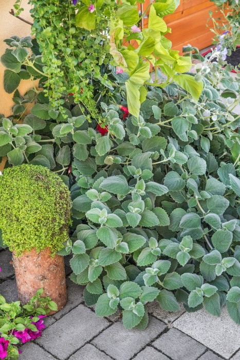 Novinky pro jaro 2020 - Plectranthus - rýmovník