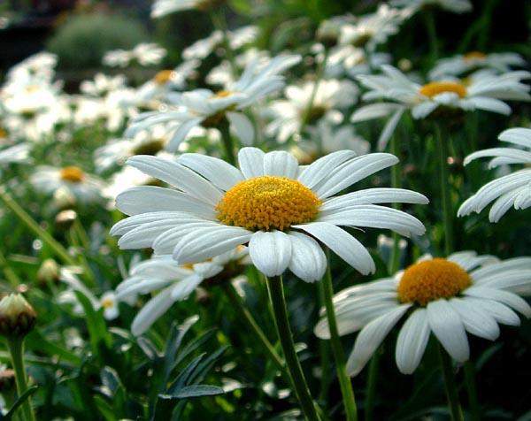 Katalóg kvetov - Margaréta