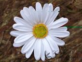 Umělý květ kopretiny,