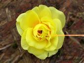 Květ růže žlutý malý,
