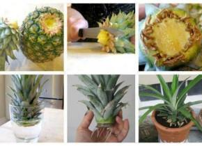 Ananás si prekrojíme a namočíme do pohára s vodou. Po niekoľkých dňoch sa  objavia korienky. Ananás si zasadíme do kvetináča a polievame dvakrát do  týždňa. e058171aa00