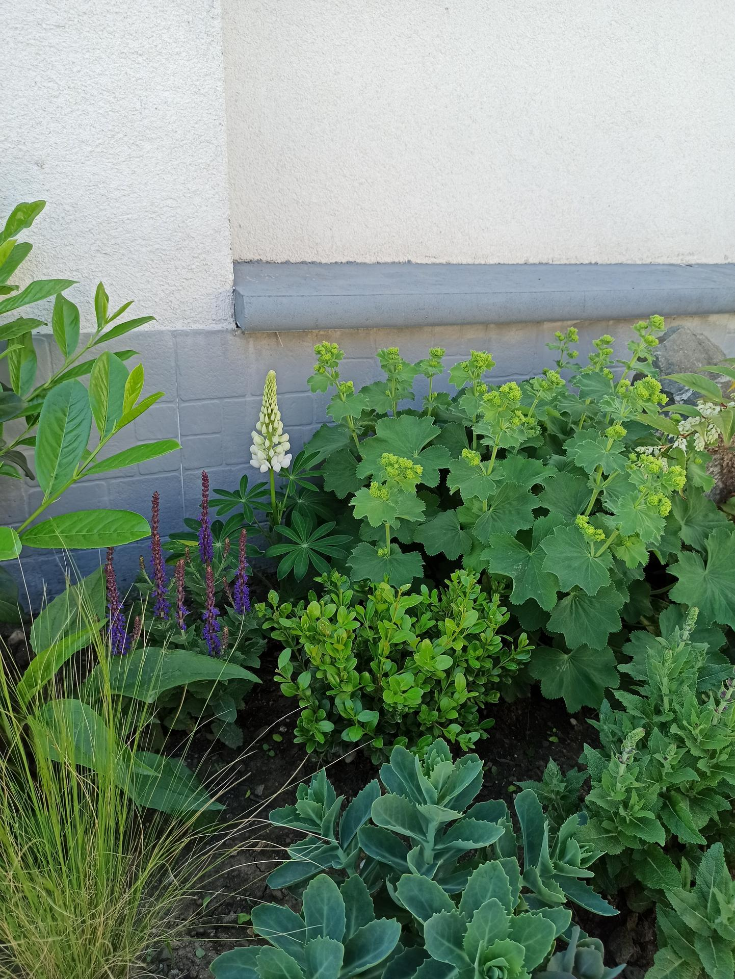 Dobrý den, ahoj :) všimla jsem si, že vám na druhý rok znovu vyrostly lupiny, jedná se o vysemeněná miminka? Myslím, že jsem tady v komentářích četla, že nepřezimují, leda právě vysemenením, jenže já jsem chronický okopávač, hlavně zjara po zimě a po deštích často okopávám, aby mi rostliny neuhnily a tak si asi tyhle vysemeněná miminka likviduju :/ nebo je naděje na přezimování mateřské rostliny? Moc děkuji za nějakou reakci od další milovnice Lupin :) (na foto Lupina, buxus, kontryhel, kousek bobkovisne novita, kavyl, rozchodník, echinacea, šalvěj) - Obrázek č. 1