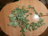 Kvet-ťahačka zelená,