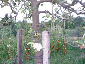 toto je zachránená jablonka, ktorú vyvalil vietor, a u manžela v práci ju chceli vyhodiť, tak sme ju zobrali a ona si teraz zmyslela, že bude kvitnúť:-)