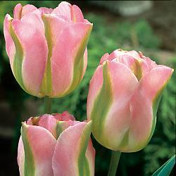 26.6.2010 to príde - Kytica bude z tulipánov Groenland + mini zelené karafiáty
