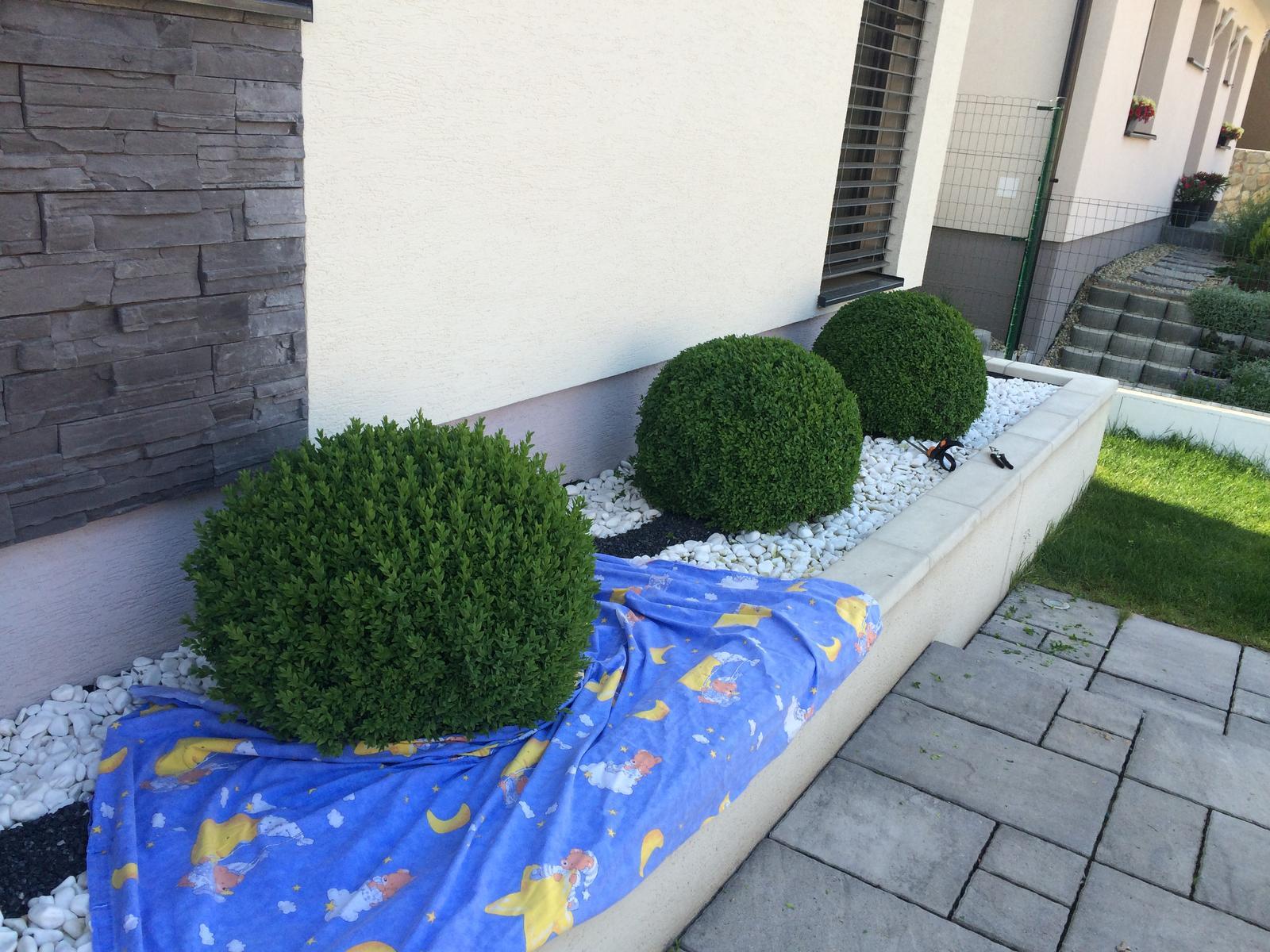 Zahradka - Buxus u kaderníka.  Ostrihala som len tak od oka.  :))