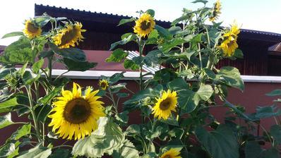 ...naše slnečnice....