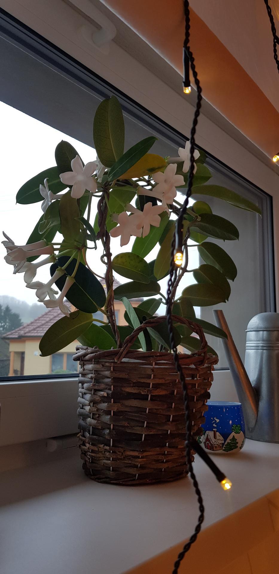 Holky nevíte co je to za květenu? Mám ji asi rok a už tak 5x kvetla, žádná extra péče. - Obrázek č. 1