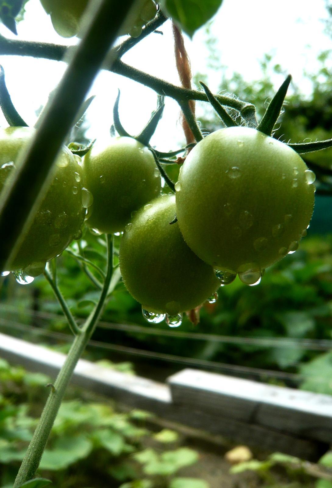 Naše paradajky neradi nosia... - Obrázok č. 3