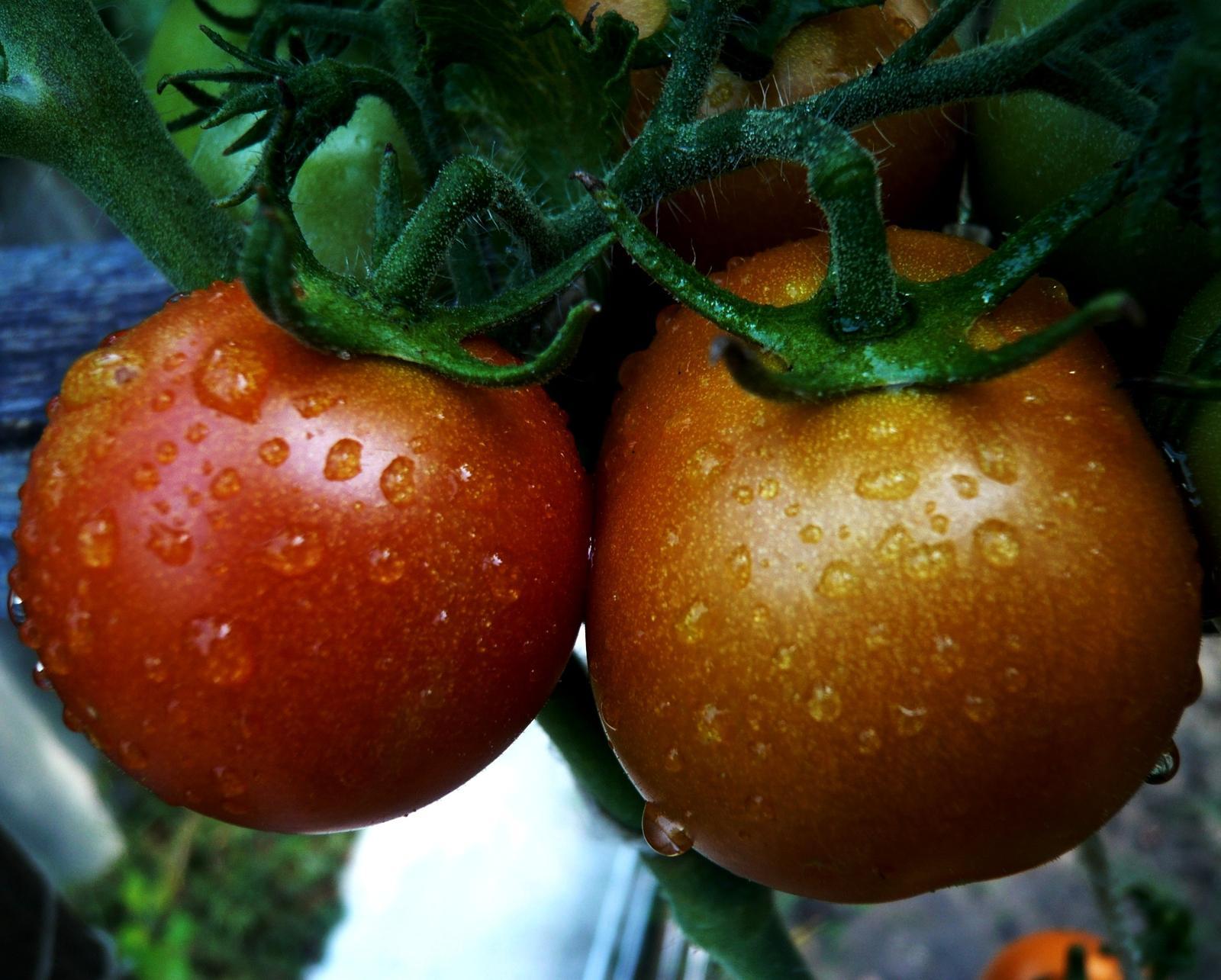 Naše paradajky neradi nosia... - Obrázok č. 2