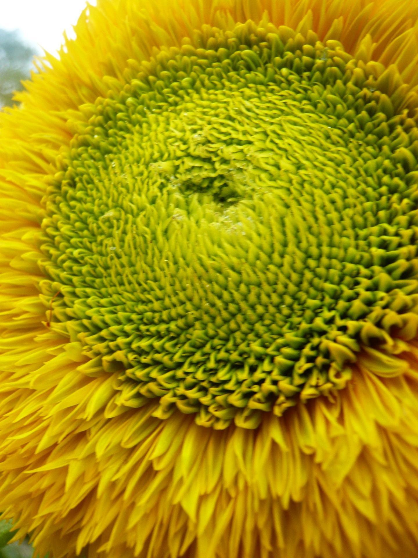 Milujem slnečnice :slight_smile: konečne... - Obrázok č. 1