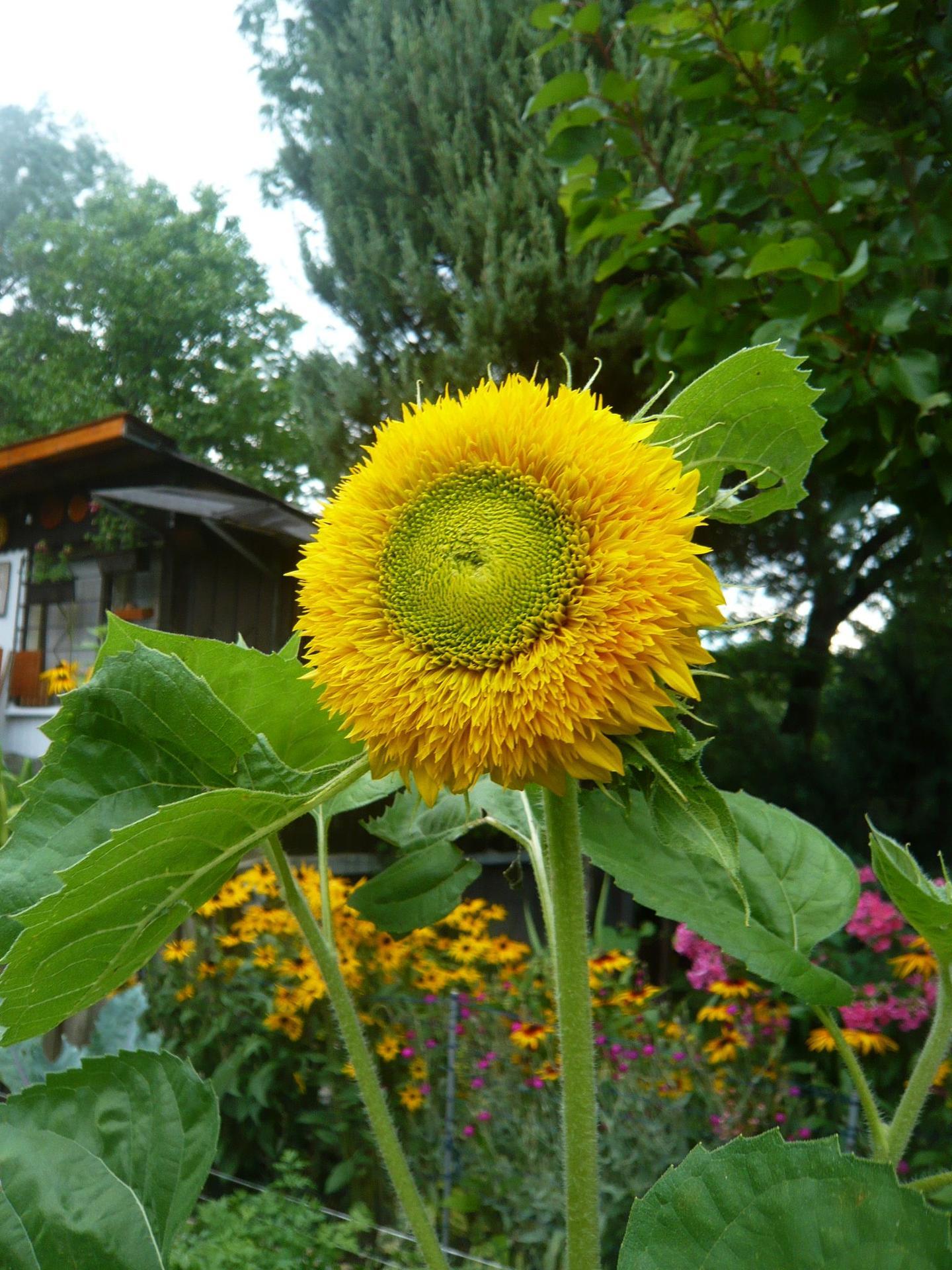 Milujem slnečnice :slight_smile: konečne... - Obrázok č. 2