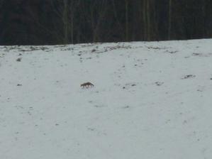 Jindy ráno zase kouknu z okna a na protějším kopci si to skotačí liška!